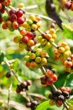 Дерево кофе с зрелыми ягодами в ферме Стоковые Изображения