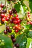 Дерево кофе с зрелыми ягодами в ферме Стоковое Фото