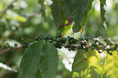 Дерево кофе с ripes вишни кофе Стоковая Фотография