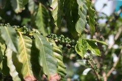 Дерево кофе с ripes вишни кофе Стоковое фото RF