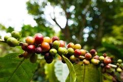 Дерево кофе Стоковые Изображения RF