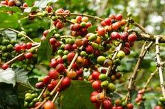 Дерево кофе Стоковая Фотография RF