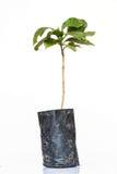 Дерево кофе Стоковое фото RF