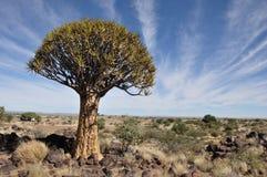 Дерево колчана стоковое фото