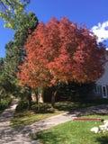 Дерево красной крышки листьев все Стоковые Фотографии RF