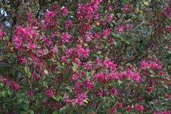 Дерево края Redleaf китайское в цветении стоковое фото