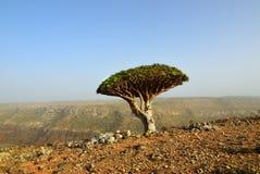 Дерево крови дракона, Сокотра, Йемен Стоковая Фотография RF