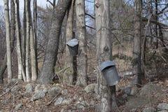 Дерево клена выстукивая для сиропа Стоковое фото RF