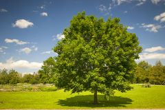 Дерево клена в поле лета Стоковые Изображения