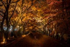 Дерево клена в фестивале освещения на Nashi Gawa Стоковое Изображение RF