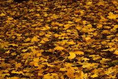 Дерево клена осени желтое Стоковые Изображения RF