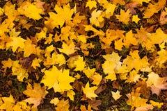 Дерево клена осени желтое Стоковое Фото