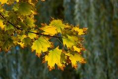 Дерево клена осени желтое Стоковая Фотография