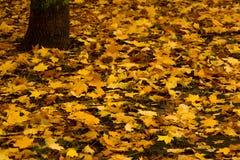 Дерево клена осени желтое Стоковые Фото