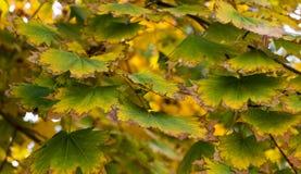 Дерево клена осени желтое Стоковая Фотография RF
