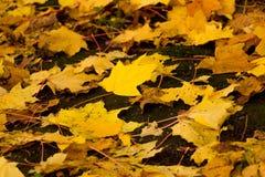 Дерево клена осени желтое Стоковые Фотографии RF