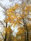 Дерево клена осени Стоковая Фотография
