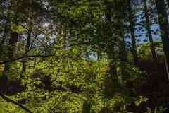 Дерево клена против сияющего солнца светлая тень В пуще Стоковое фото RF