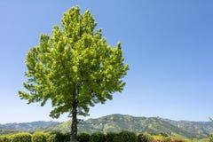 Дерево клена трёхзубца Стоковое Изображение RF