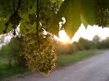 Дерево клена цветка Стоковая Фотография