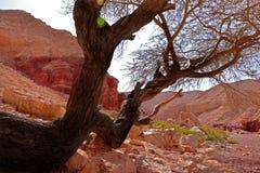 Дерево лежит на утесах Долина в большом красном каньоне, Eilat, Израиль стоковая фотография