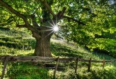 Дерево летнего времени в сочном зеленом цвете при солнечный свет светя до конца и загородка и дорога rusticv на переднем плане Стоковое Фото