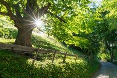 Дерево летнего времени в сочном зеленом цвете при солнечный свет светя до конца и загородка и дорога rusticv на переднем плане Стоковые Изображения RF
