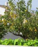 Дерево лимона которое растет в зоне Blanca Косты сада, Испания, с несколькими спелых плодоовощей Стоковое Изображение RF
