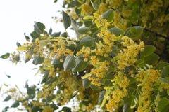 Дерево липы в цветении против предпосылки голубые облака field wispy неба природы зеленого цвета травы белое Стоковое Изображение RF