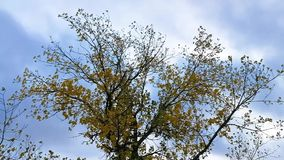 Дерево, листья и ветер акции видеоматериалы