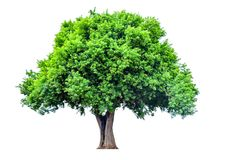 Дерево ломает лист на белой предпосылке Стоковое Изображение RF