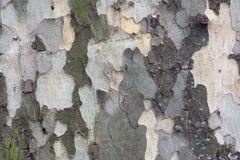 Дерево Лондона плоское Стоковое Фото