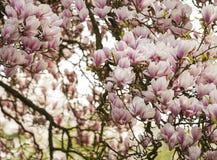 Дерево магнолиевые магнолии цветя Стоковое Фото