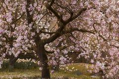 Дерево магнолиевые магнолии цветя Стоковое фото RF