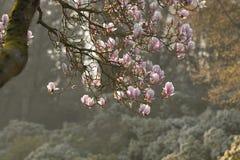 Дерево магнолиевые магнолии цветя Стоковые Фото