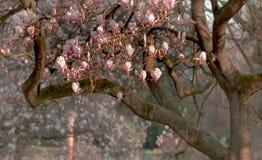 Дерево магнолиевые магнолии цветя Стоковая Фотография