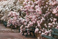 Дерево магнолиевые магнолии цветя Стоковое Изображение RF