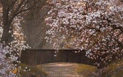 Дерево магнолиевые магнолии цветя Стоковое Изображение