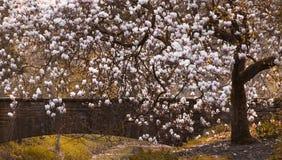 Дерево магнолиевые магнолии цветя Стоковая Фотография RF