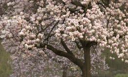 Дерево магнолиевые магнолии цветя Стоковые Изображения RF
