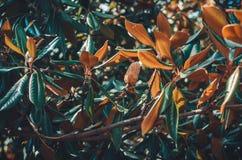 Дерево магнолии выходит ботаническая предпосылка Стоковая Фотография