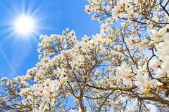 Дерево магнолии на солнечный день Стоковые Фотографии RF