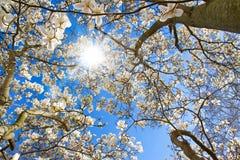 Дерево магнолии на солнечный день Стоковая Фотография