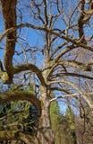 Дерево магнолии Стоковое Изображение