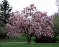 Дерево магнолии Стоковая Фотография RF