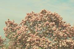 Дерево магнолии Grunged красивое в зацветать в ботаническом саде Стоковая Фотография RF