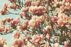Дерево магнолии Grunged красивое в зацветать в ботаническом саде Стоковые Фото