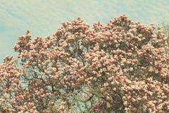 Дерево магнолии Grunged красивое в зацветать в ботаническом саде Стоковое Изображение
