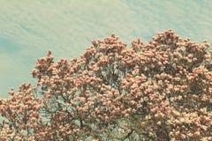 Дерево магнолии Grunged красивое в зацветать в ботаническом саде Стоковое Фото