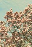 Дерево магнолии Grunged красивое в зацветать в ботаническом саде Стоковое фото RF